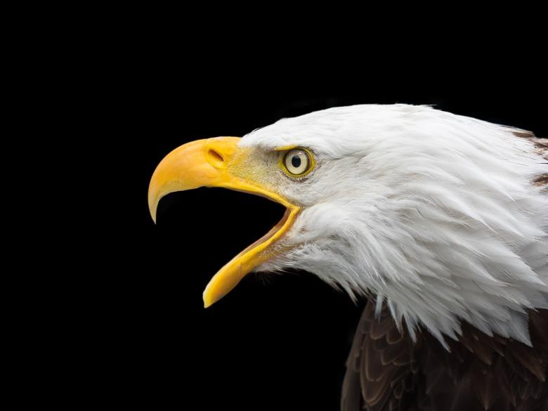 bald-eagle-2715461_1920