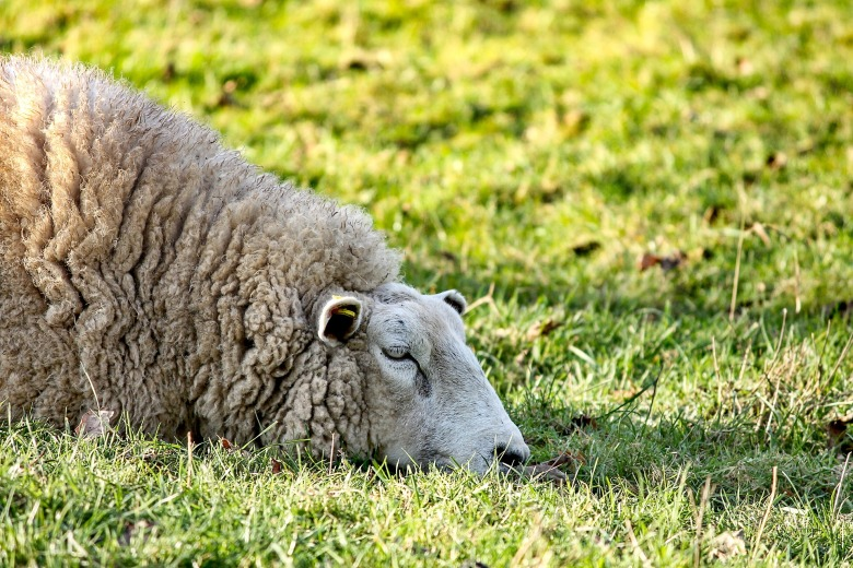 sheep-3119307_1920